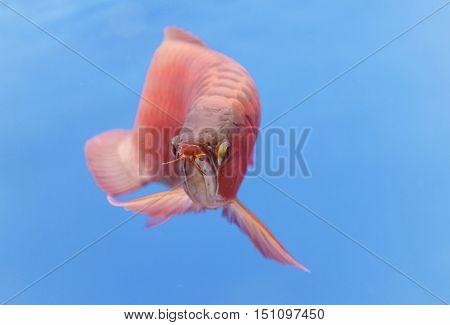 Asian arowana red fish ,dragon fish swims in a fish tank.