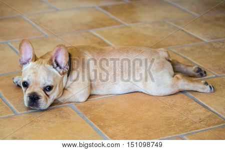 French Bulldog Puppy - Canis lupus familiaris
