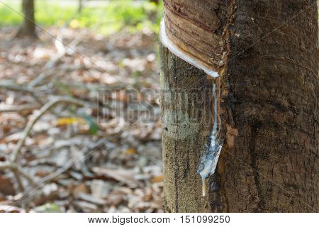 Natural Latex Dripping From A Rubber Tree