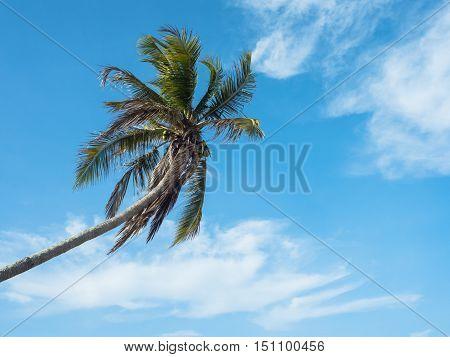 A single coconut palm against the blue sky.