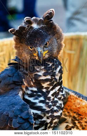 Hawk staring with a large orange eyes With hostile eyes.