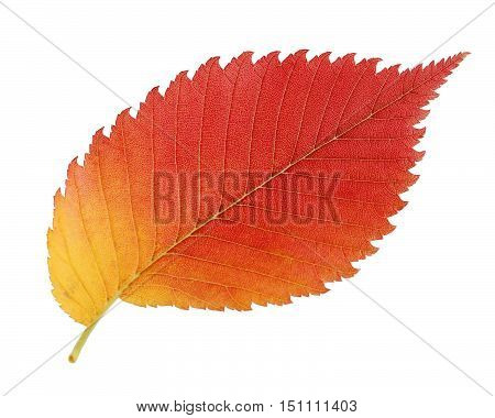 Autumn leaf elm isolated on white background. One red-yellow leaf elm. Herbarium.