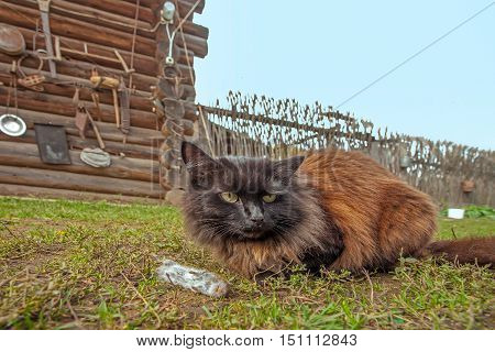 closeup portrait of a black cat with a serious look lying on the grass beside him lay lifeless gray mouse
