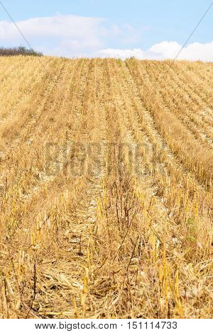 Corn field after harvest in autumn in Moldova, vertical photo