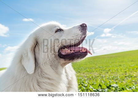 Big guard dog enjoying a walk on a sunny day. Polish Tatra Sheepdog also known as Podhalan or Owczarek Podhalanski