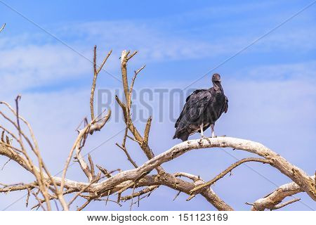 Vulture At Top Of Tree