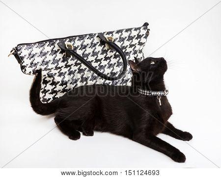 Black fashion cat with a stylish collar near the trendy handbag on a white background