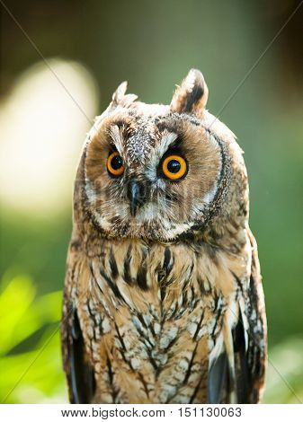 Asio otus - Strix otus - portrait of Long-eared owl