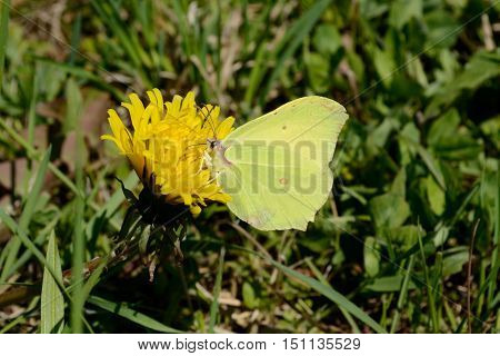Discreet yellow brimstone butterfly sits on strong yellow flowering dandelion