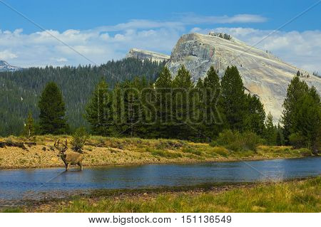 Stag wandering down the river in Tuolumne Meadows, Yosemite National Park