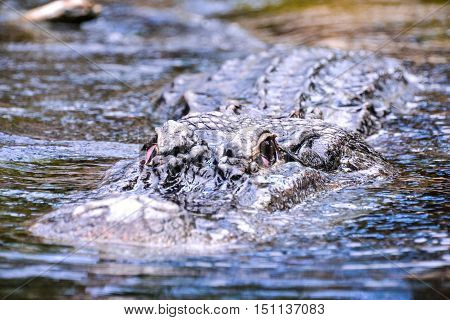 Amphibian Beautiful Animal Crocodile