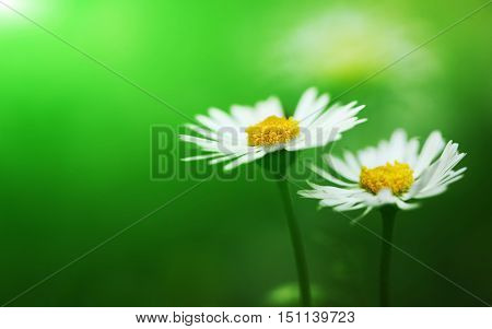 Bunch of flowering white daisies with green background