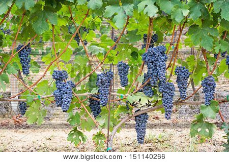 Black vineyard grape cluster in Piedmont, Italy
