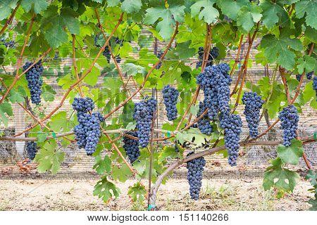 Black vineyard grape cluster in Piedmont, Italy