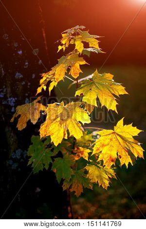 Large fresh green and yellow maple leaves with sun shinning through