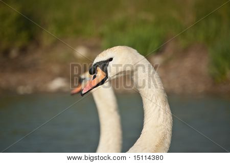 A pair of mute swans by a pond. poster