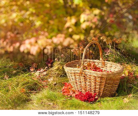 Beautiful colorful autumn. Autumn harvest - Viburnum berries in the basket on grass.