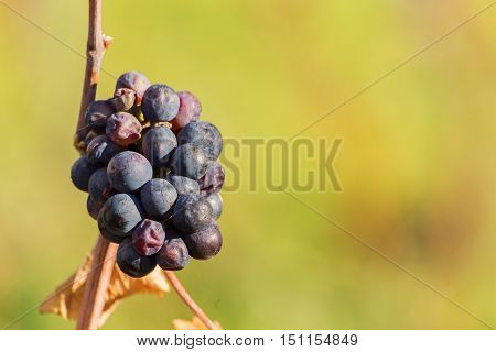 Red wine grapes, rural nature. Autumn in vineyard