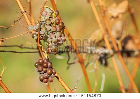 White wine grapes, rural nature. Autumn in vineyard