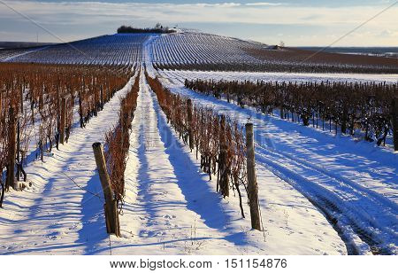 Vineyard landscape scene in winter in Hungary