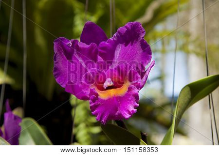 The beautiful tropical flower - Violet orchid
