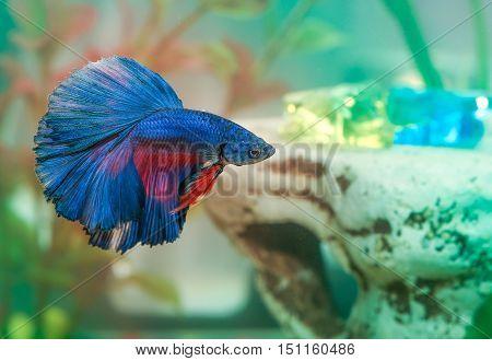 betta fish Aquarian fish swims in aquarium water