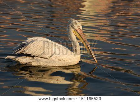 White Pelican swimming on sea, closeup, isolated.
