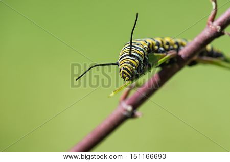 Monarch butterfly larva feeding on garden milkweed. Natural green background with copy space.
