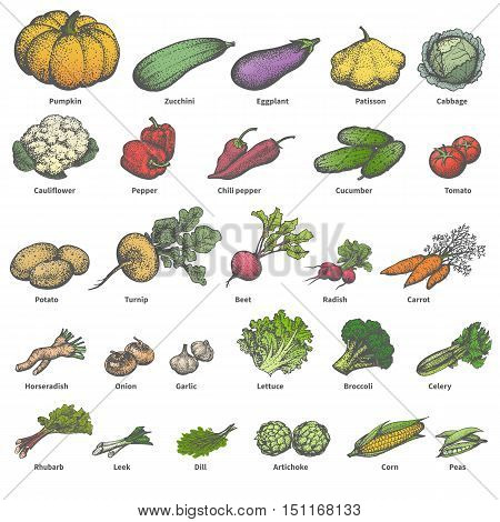 Vector illustration of a big set of different colored ripe vegetables with names. On an isolated white background. Drawing hand-drawn sketch doodle. Vintage retro style. The concept of dietetic foods.