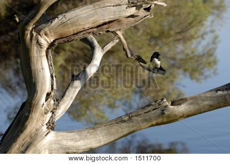 Willy Wagtail In Tree