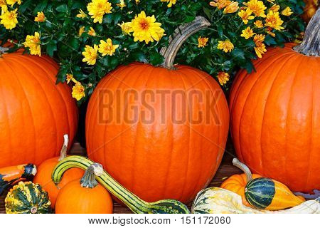 Chrysanthemum, pumpkins and gourds in Wisconsin during fall.