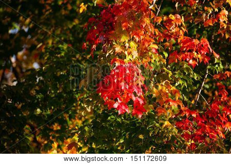 Tree turning a colorful red and yellow in Wisconsin during the early autumn.