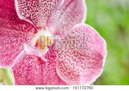 Beautiful pink purple Orchid, Vanda hybrids in nature