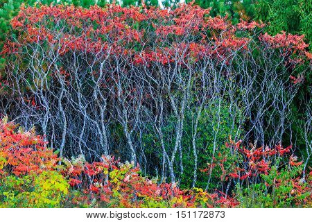 Colorful (Rhus typhina) Staghorn sumac bush in front of green pine trees.