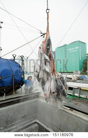 Busan South Korea - September 22th 2016: Busan fish port unloading of hulks of a frozen tuna from hold transport refrigerator SL BOGO.