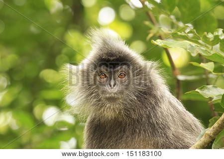 Monkey in forest. Silvered leaf Langur