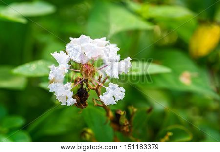 White Indian Lilac or White Myrtle in a garden
