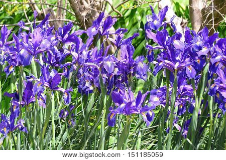 Beautiful Dutch Iris garden in the Springtime. Purple flowers.