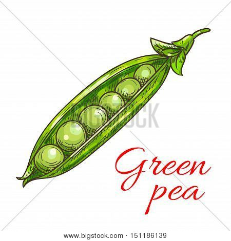 Green pea vegetable sketch icon. Isolated open pea pod. Vegetarian fresh food product sign for sticker, grocery shop, farm store element