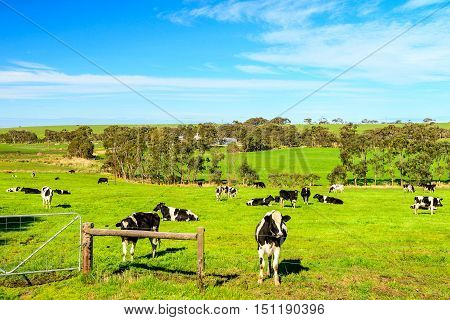 Cows grazing on a daily farm in rural South Australia