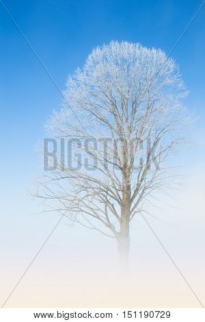 Natural white lace of hoarfrost on frosty tree branches against winter morning cloudless deep blue sky and fog haze above the ground