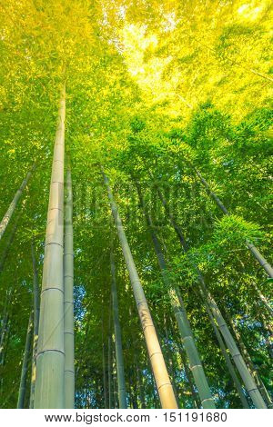 Bamboo Forest  ( Filtered image processed vintage effect. )