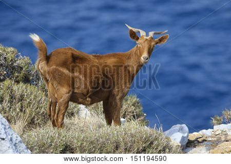 Horned brown goat on the Mediterranean coast