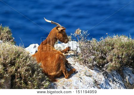 Horned brown goat lying on the stone