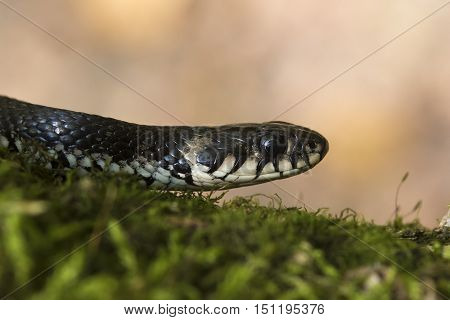 European non venomous water Grass snake on the moss