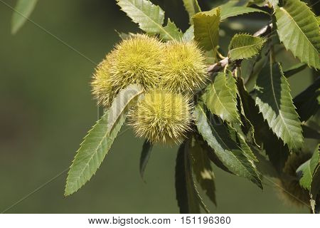 Sweet chestnuts husks and seeds on tree