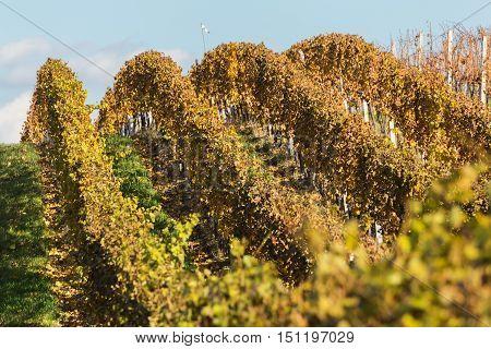 Autumnal view of vineyard Palava Czech Republic