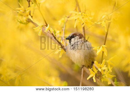 Sparrow On The Yellow Forsythia Bush