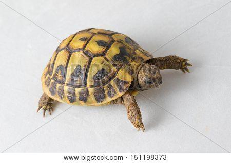 Hermann's tortoise Testudo hermanni on isolated white