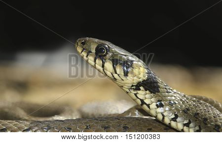 Portrait of European non venomous water Grass snake